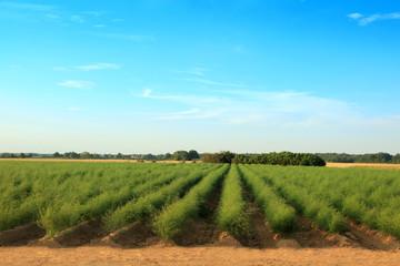 Piękna plantacja szparagów.