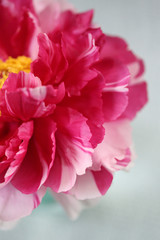 A Spring Peony In Bloom