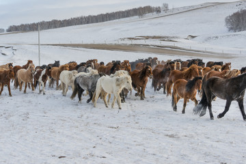 Horses on the winter meadow