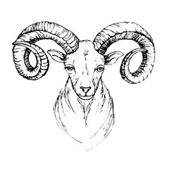 Sketch by pen head of a mountain goat with swirling horns