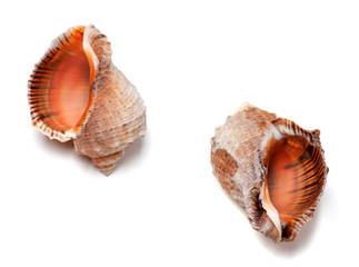 Two empty shells from rapana venosa