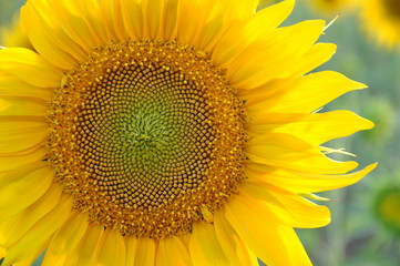 Sunflower in a sunny day