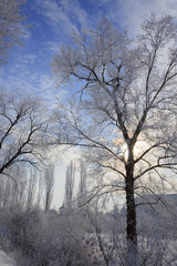 Winter trees in the backlight of the sun