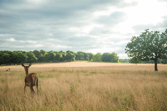 Wild deer grazing in the tall grass
