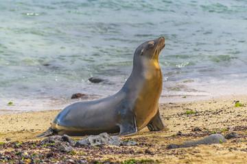 Sea Wolf at Shore of Beach, Galapagos, Ecuador