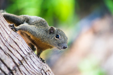 Curious Slender squirrel sitting on a tree, Malaysia.