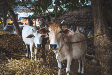 White cattle in the village of Lumbini,Nepal