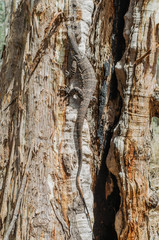 Lace Monitor climbing gumtree