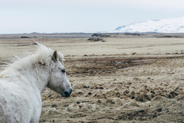 Iceland horses in mountain landscape