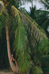 Beautiful young  woman in bikini relaxing on palm tree at tropics