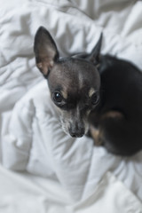 Cute black chihuahua dog on bed