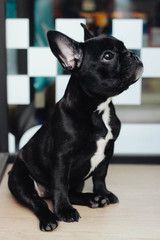 Cute french bulldog outdoor