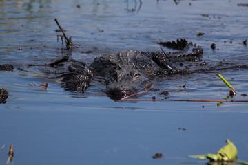 Everglades: Alligators in the swamp