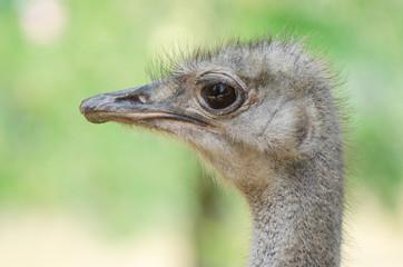 Female ostrich in the zoo