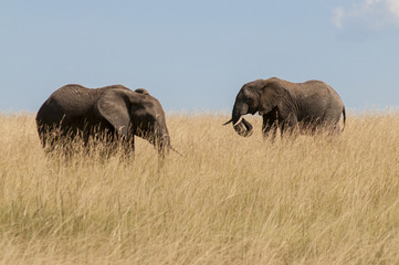 Elephant in an area of dry grass, Kenya