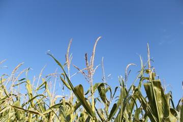 Growing Corn Stalks Against a Blue Sky
