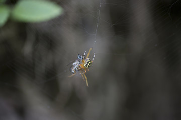 A spider eats a fly caught in a web in the forest