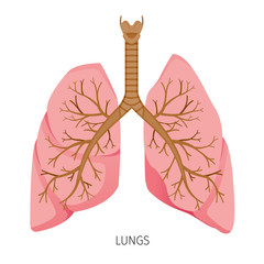 Lungs, Human Internal Organ Diagram, Physiology, Structure, Medical Profession, Morphology, Healthy