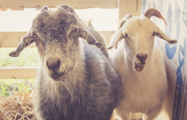 Pair of goats (Capra Aegagrus Hirucs) have funny expressions at the county fair in vintage garden setting