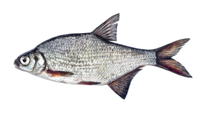 Fish silver bream with scales isolated on white background (Blicca bjoerkna)