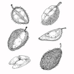 Set of vector black illustrations, icons of a durian fruit whole and peeled in an engraving style isolated on a white background. Print, template, design element