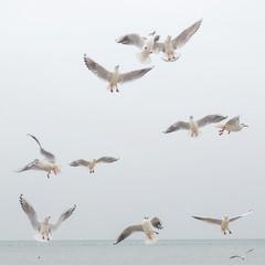Möwenschwarm am Himmel über dem Bodensee