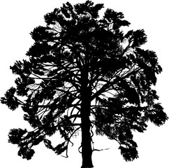 isolated single black pine large silhouette on white