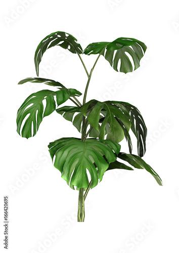 3D Rendering Monstera Plant on White