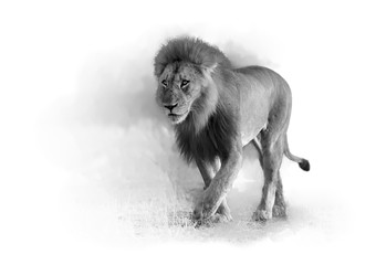 Artistic, black and white photo of Lion, Panthera leo,  male with dark mane in motion from front view,  isolated on white background with a touch of environment. Chobe, Botswana.