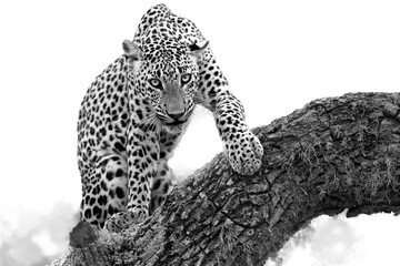 Black and white photo, Sri Lankan leopard, Panthera pardus kotiya, isolated on white background with touch of environment. Male on tree, staring directly at camera, close up distance.Yala, Sri Lanka.
