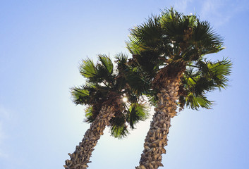 high palm trees