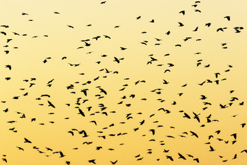 Silhouettes of flying birds flock at twilight