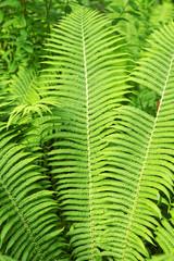 Green fresh forest fern background.