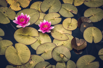 waterlilies in the pond with flower