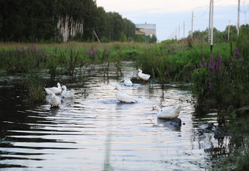 White geese are floating in the pond near the road