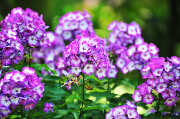 Phlox purple flower.