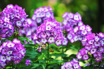 Phlox purple flower.