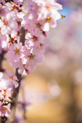 Spring flowering almond tree, pink flowers. Vertical. Blurred background. Close-up.