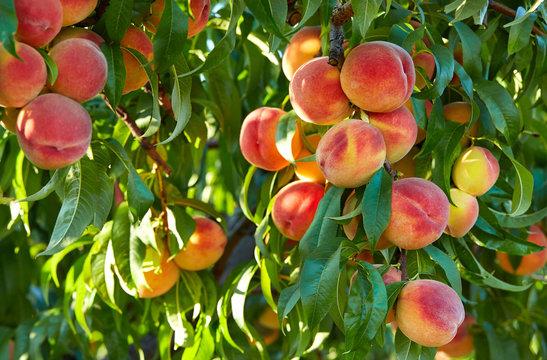 Branch of peach tree in closeup