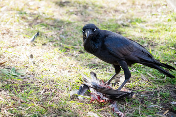Large black crow standing over dead prey and feeding