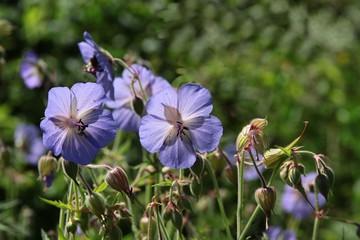 blue flowers of wild geranium