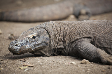 Komodo dragon lying/walking at Komodo Island, Indonesia