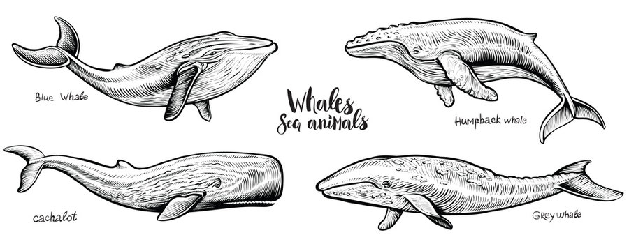 Whales vector hand drawn illustration.