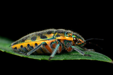 Pomegranate insect