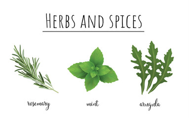 Herbs and spices color set. Collection of herbs and spices vector illustration. Rucola, mint and rosemary
