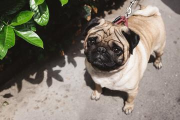 Sad Pug Dog