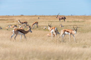 A group of Springboks