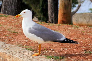 Seagull resting on dock. Seagull standing on the grass and rest with a beautiful natural environment in the background. Seagull close shot and posing of the camera.