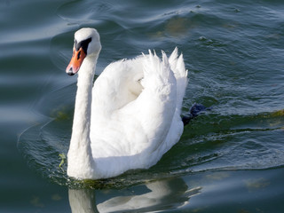 Mute Swan, Cygnus olor, Golden Sands Bay, Bulgaria