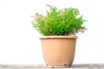 Green tree in a pot on a wooden floor isolate background.